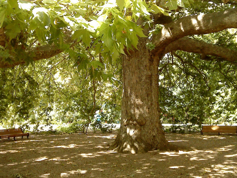 Платан в парке Ореанда